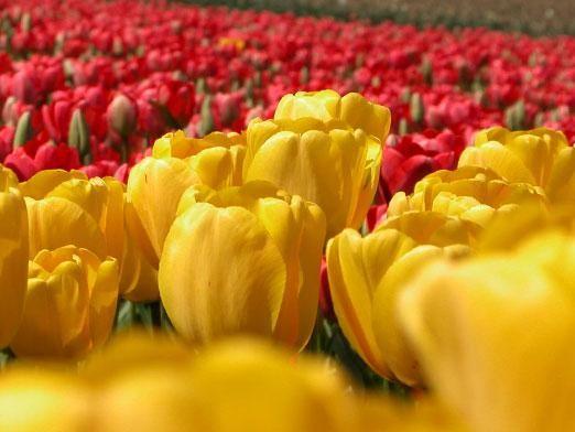 Як зберігати тюльпани?