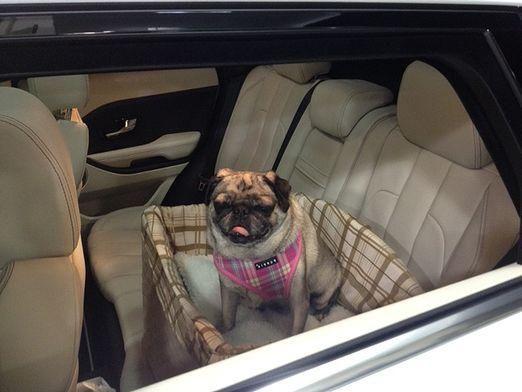 Як перевозити собак?