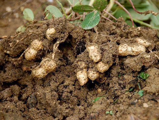 Як росте арахіс?