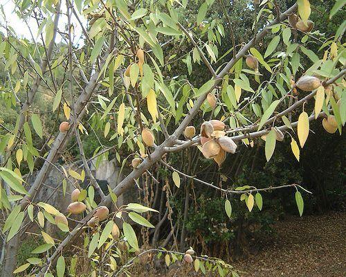 Горіхи мигдалевого дерева
