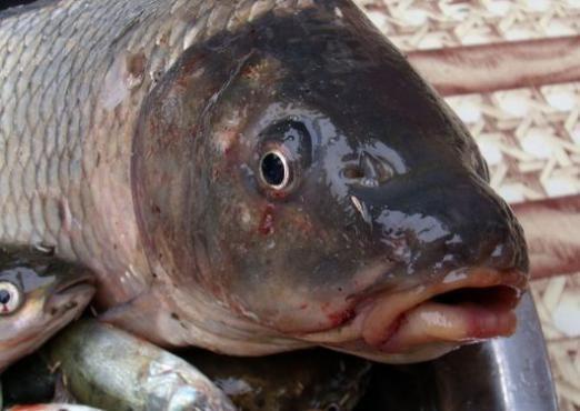 Скільки калорій в рибі?